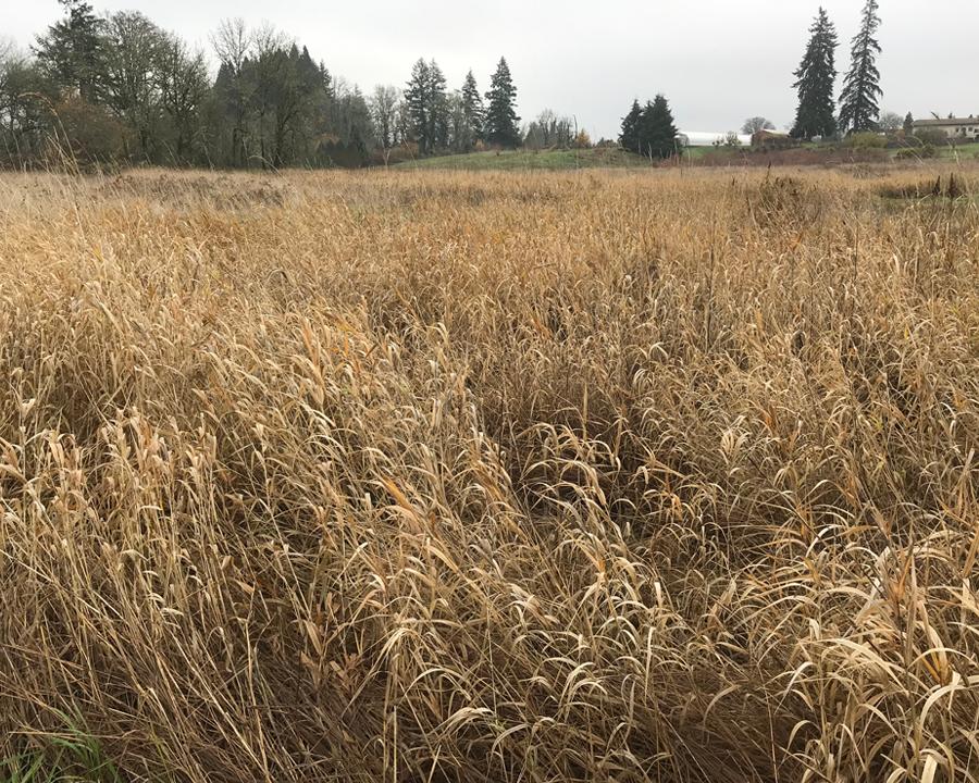 Field of reed canarygrass