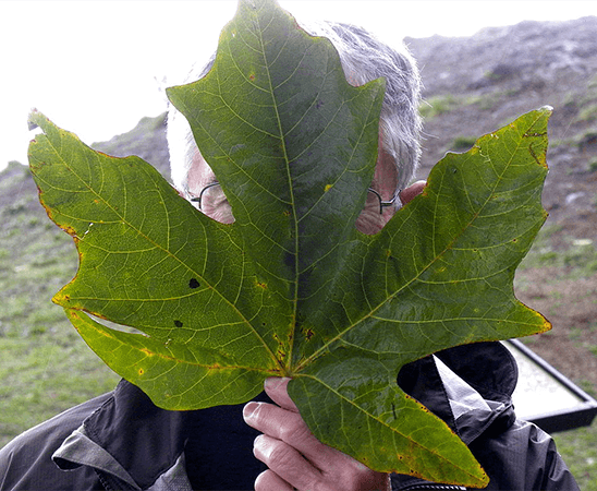 A man holds up a leaf of the Big leaf maple to illustrate its impressive size!