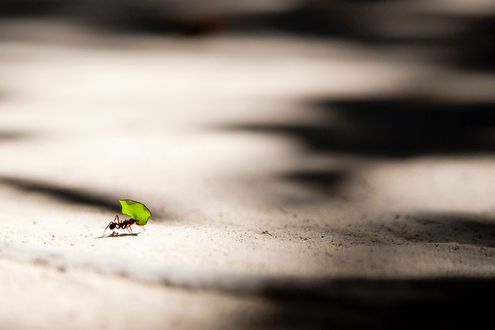 Ant carrying Leaf