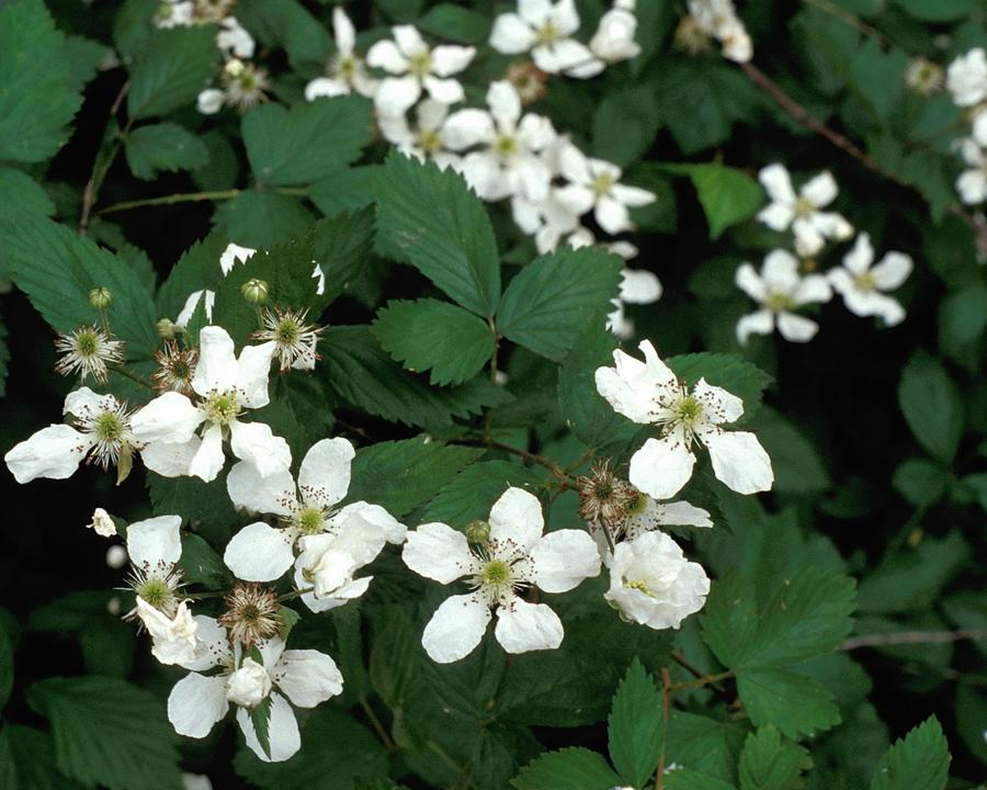 Blackberry flowers.