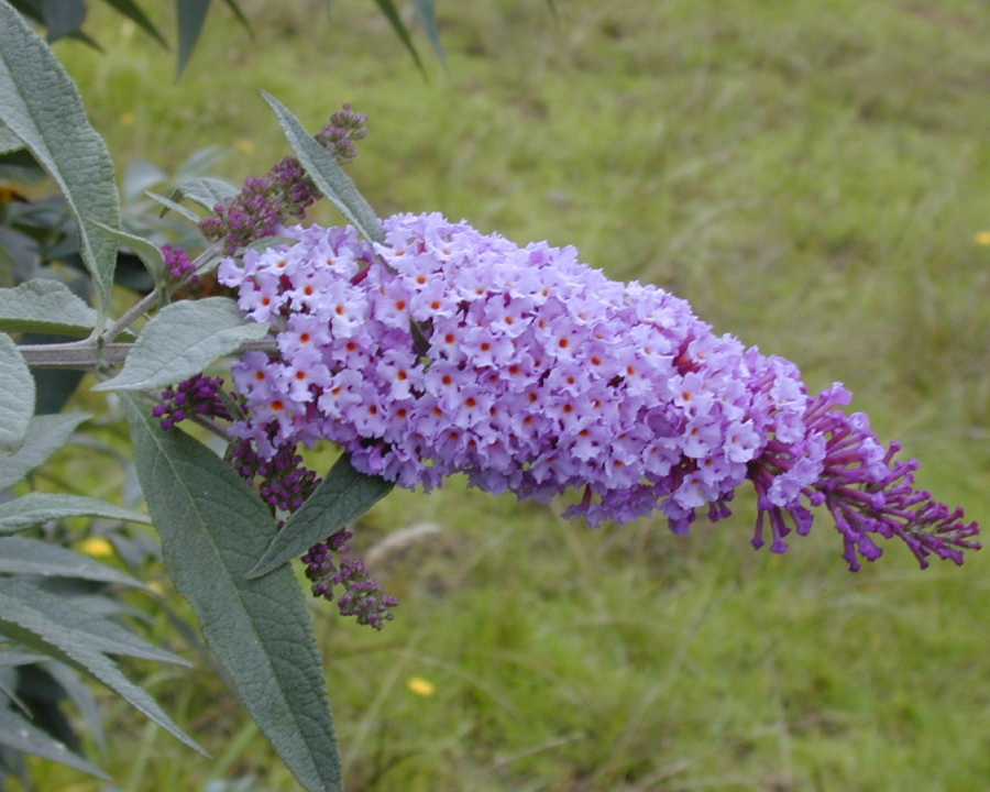 Full purple flower spike of butterfly bush.