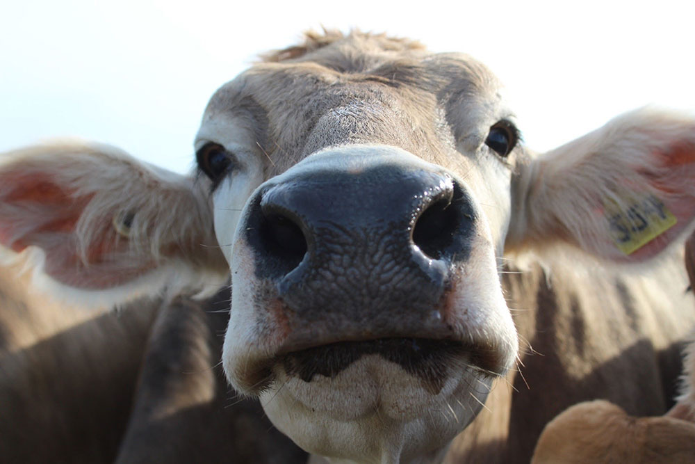 Cow face up close