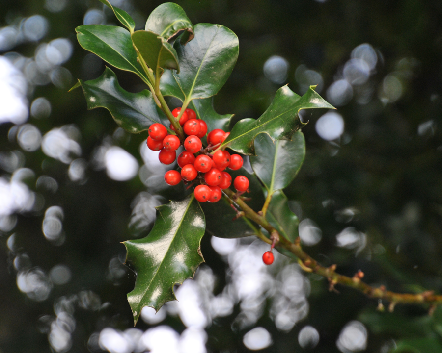 English holly red berries