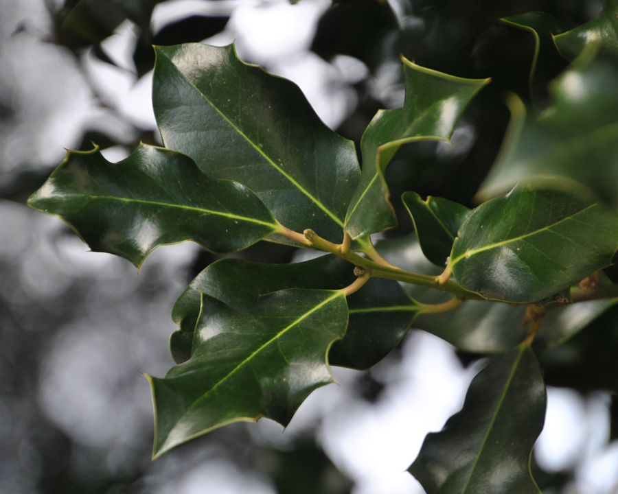 English holly leaves