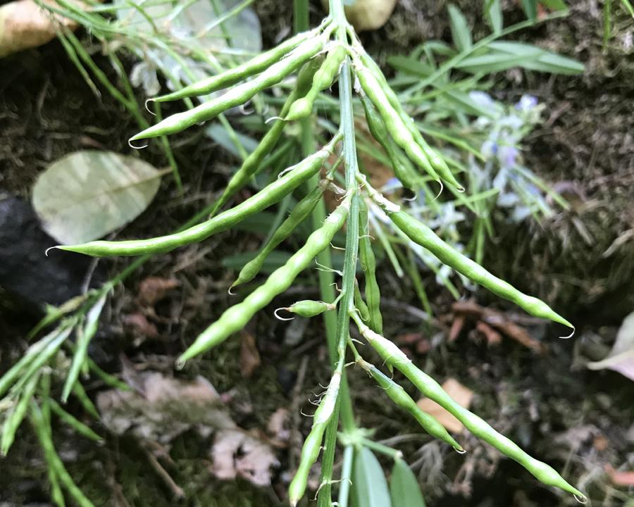 Green goatsrue seed pods.