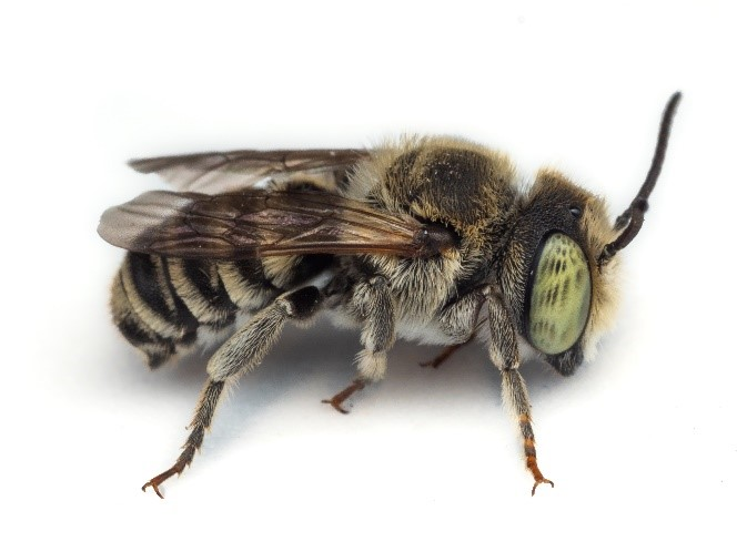 Detailed photo of a leafcutter bee.