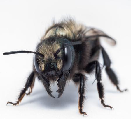 Detailed photo of a mason bee