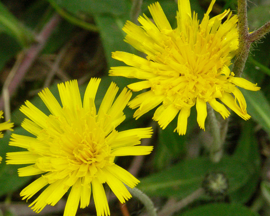Mouse-ear Hawkweed flowers.