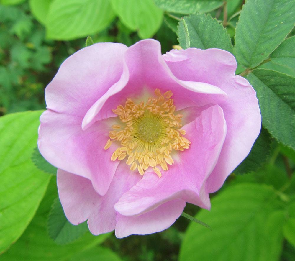 Nootka Swamp Rose