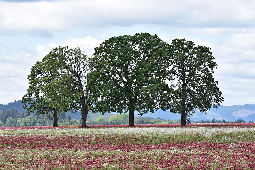 Oak Trees With Crimson Clover