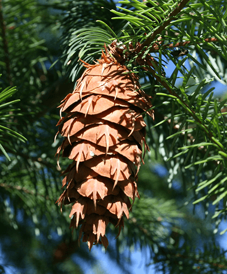 The Douglas fir is recognizable by its toothed cones.