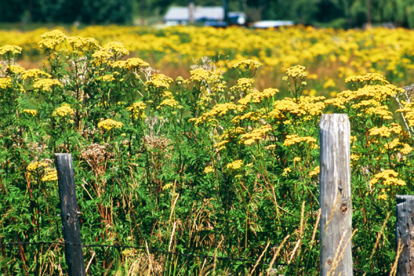 Field of yellow flowered common tansy.