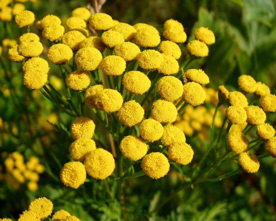 Close up of yellow flowered common tansy.