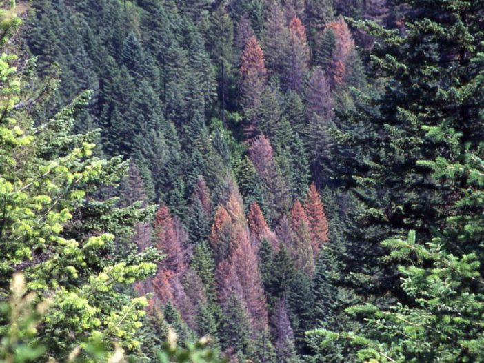 Douglas Fir Bark Beetle Die Back