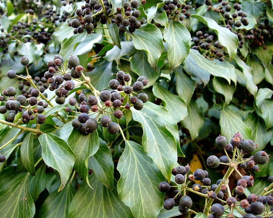 English ivy berries.