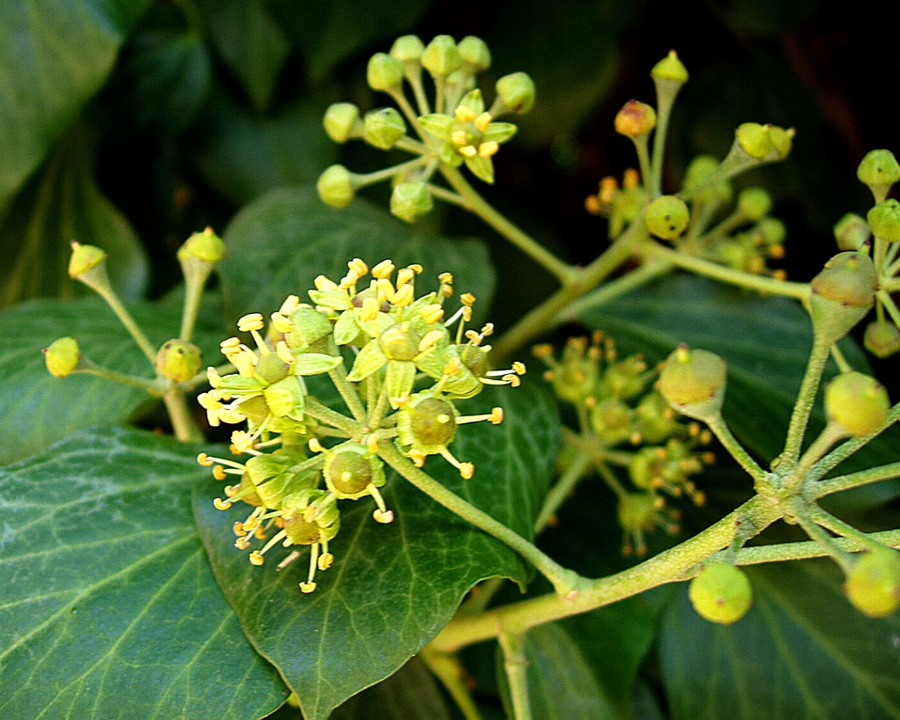 English ivy flowers.