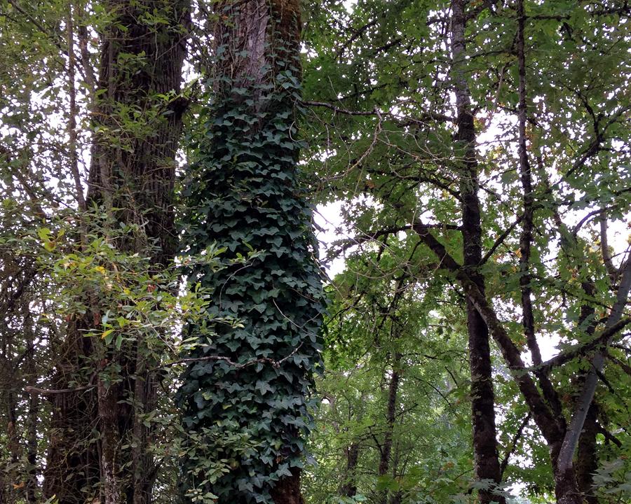 Ivy on tree.