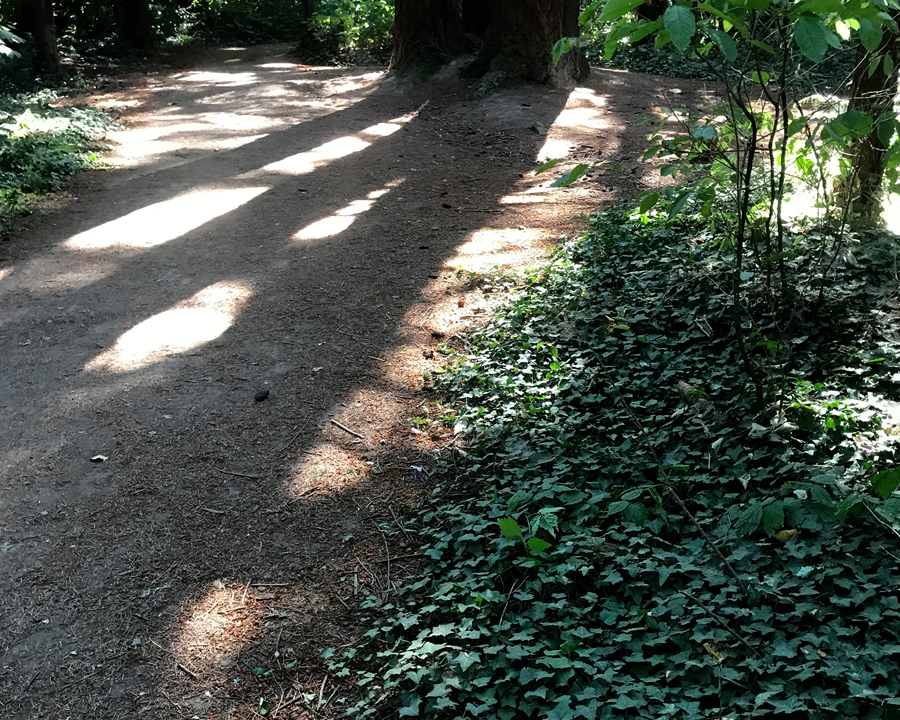 Ivy infestation along road