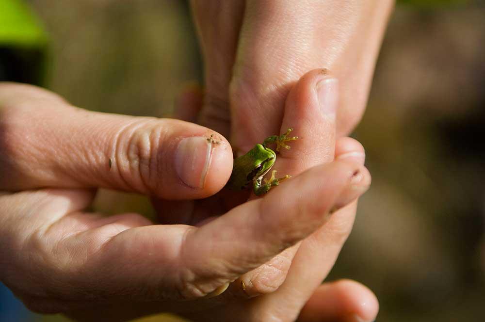 Frog in Hands
