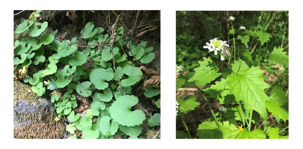 Two photos detailing the stages stages of garlic mustard.