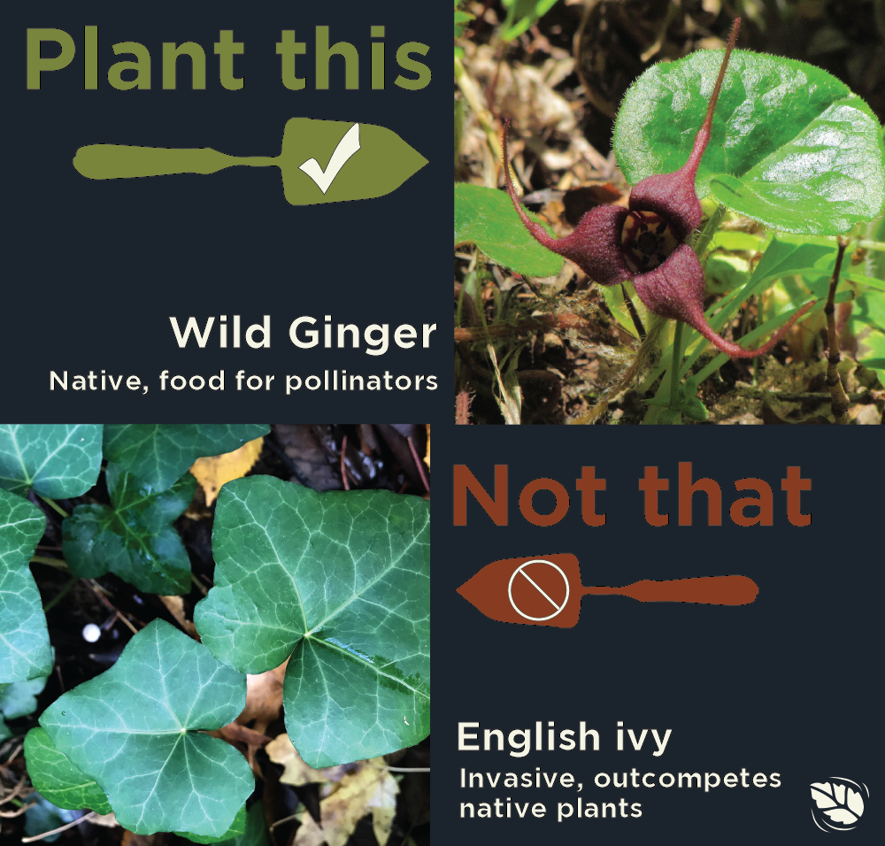 Comparison of Wild ginger with light green leaves and a purple flower and English ivy with dark green leaves