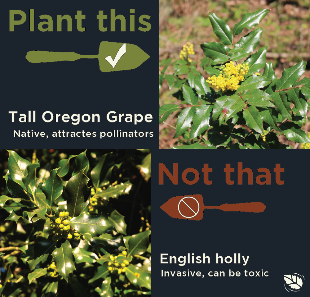 Comparison of Oregon grape with shiny green leaves and yellow flowers and English holly with siney green leaves and green berries.