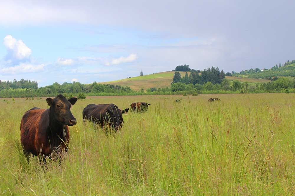 Cows in grazing at Hutchinson