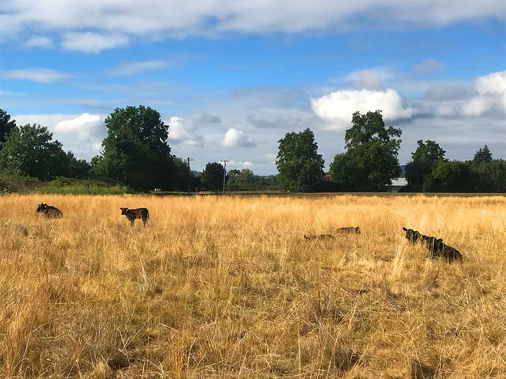 Cows Grazing in brown field for Research