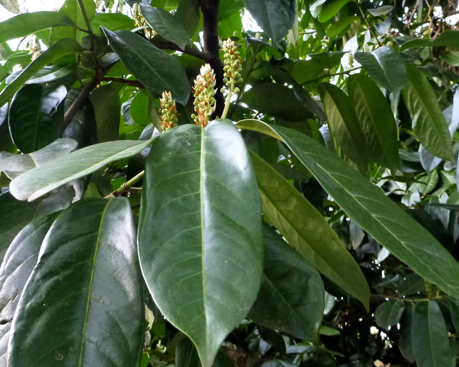 Laurel flowers and leaves.