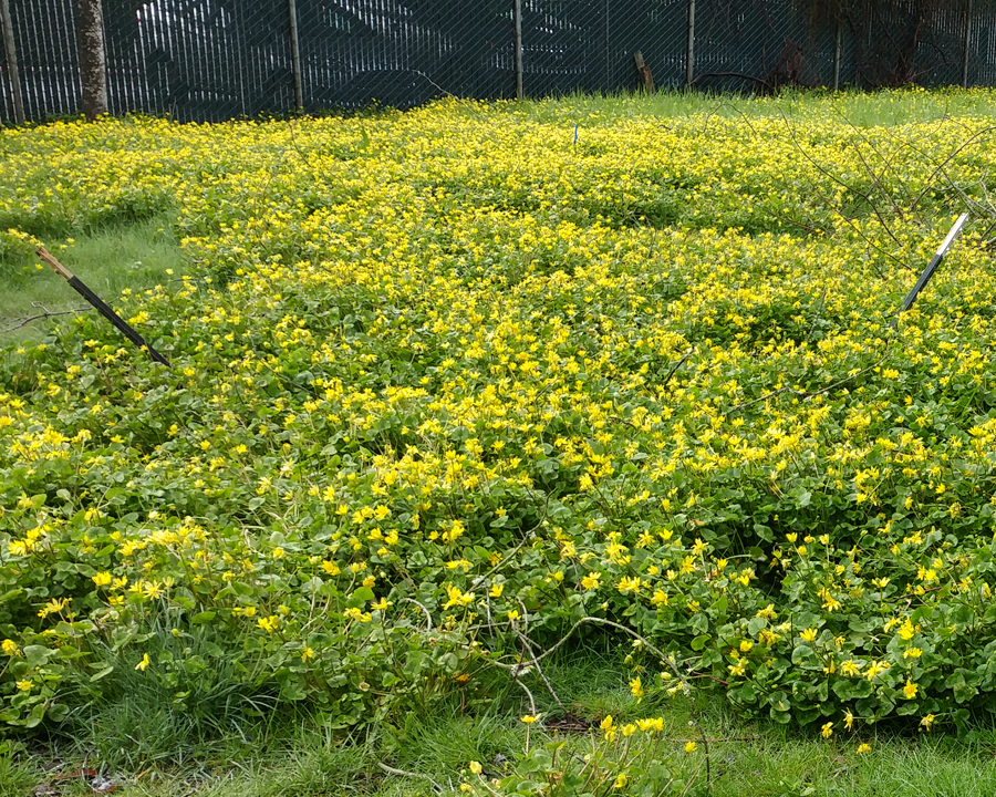 Lesser celandine infestation.