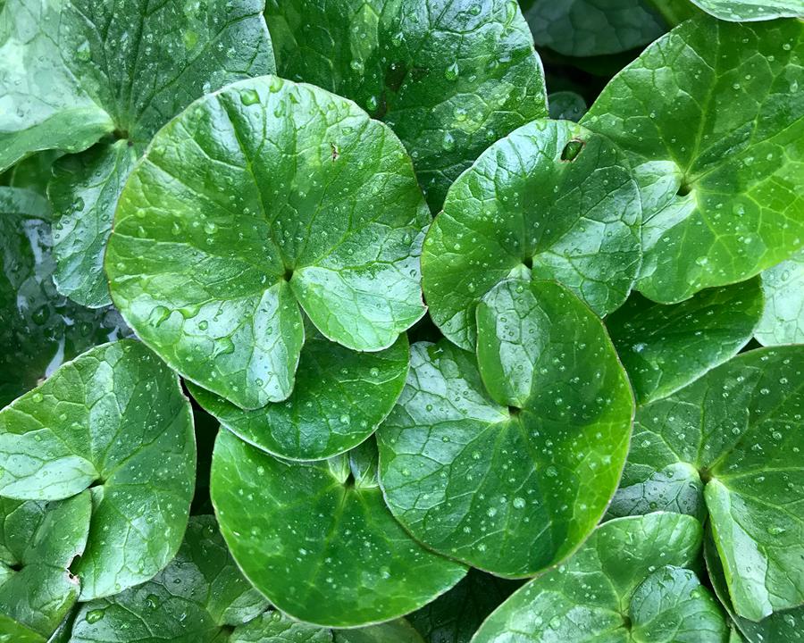 Close up of lesser celandine leaves.