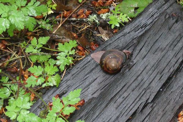 Pacific Sideband Snail on log on forest floor