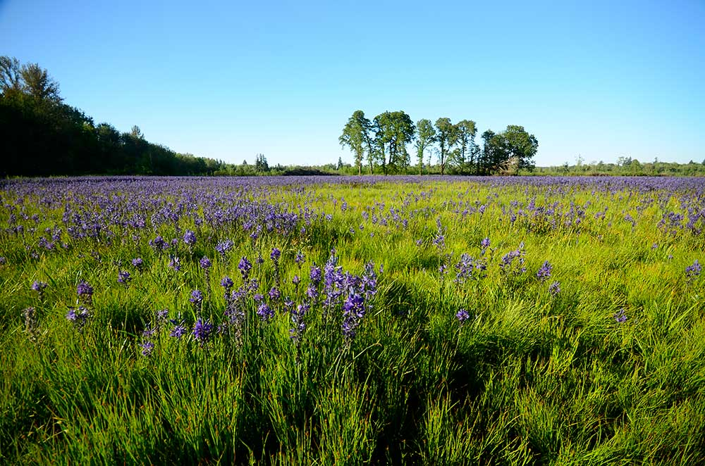 Green grass with purple flowers in Quamash Prairie