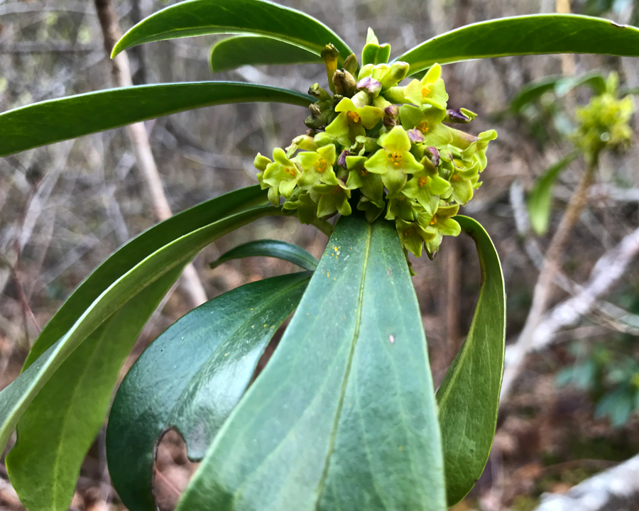 Spurge laurel flowers