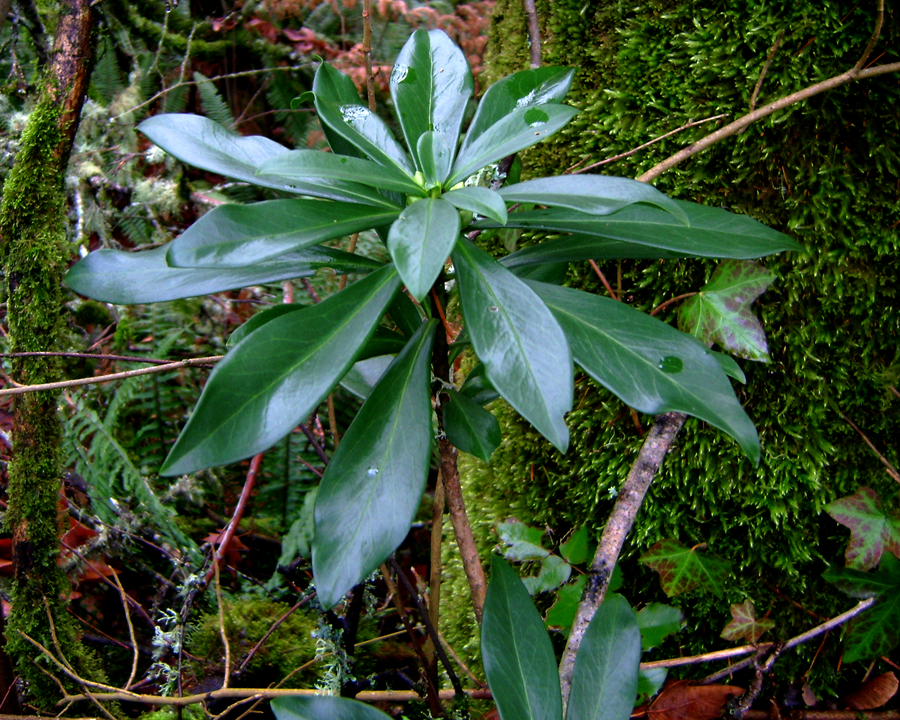 Spurge laurel leaves