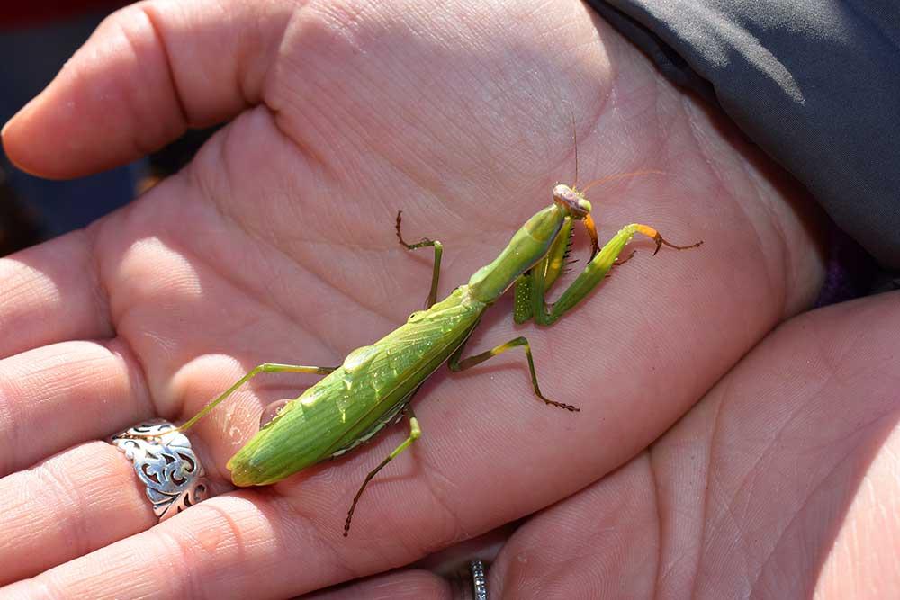 Hand holding at Praying mantis