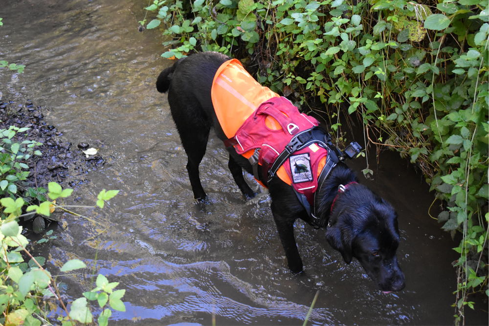 Conservation canine in the river sniffing