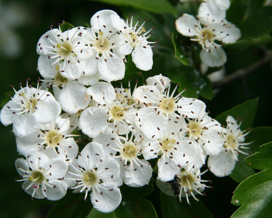 Close up of white English Hawthorn flowers