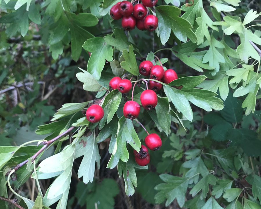 Dark green leaves and red berries.
