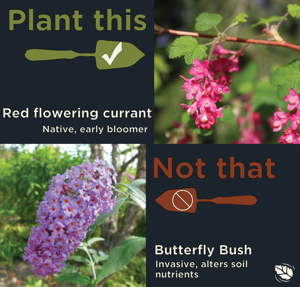 Comparison of red-flowering currant with red flowers and butterfly brush with purple flowers