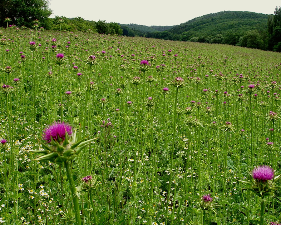 Milk thistle infestation
