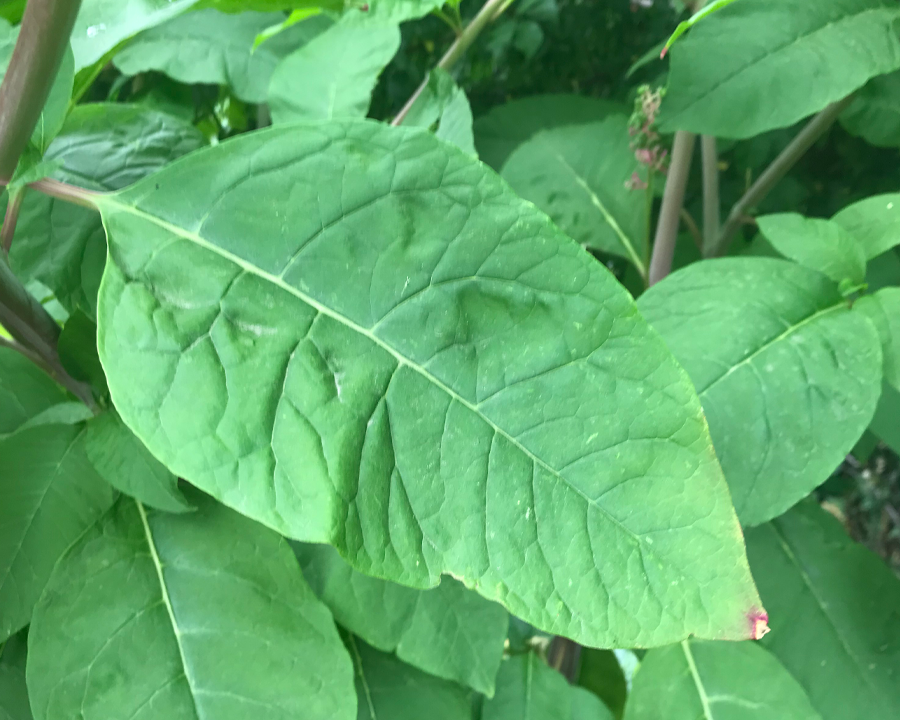 Pokeweed leaves