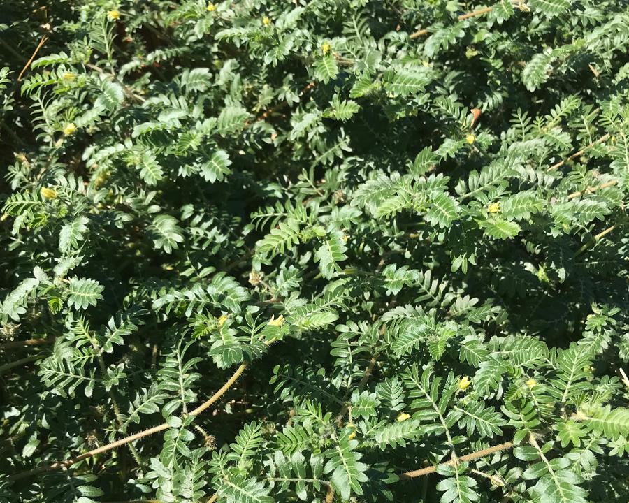 Puncturevine leaves