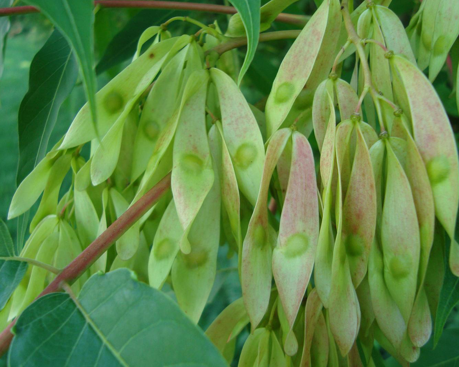 Tree of heaven seeds
