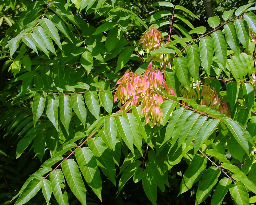 Tree of heaven leaves and seeds