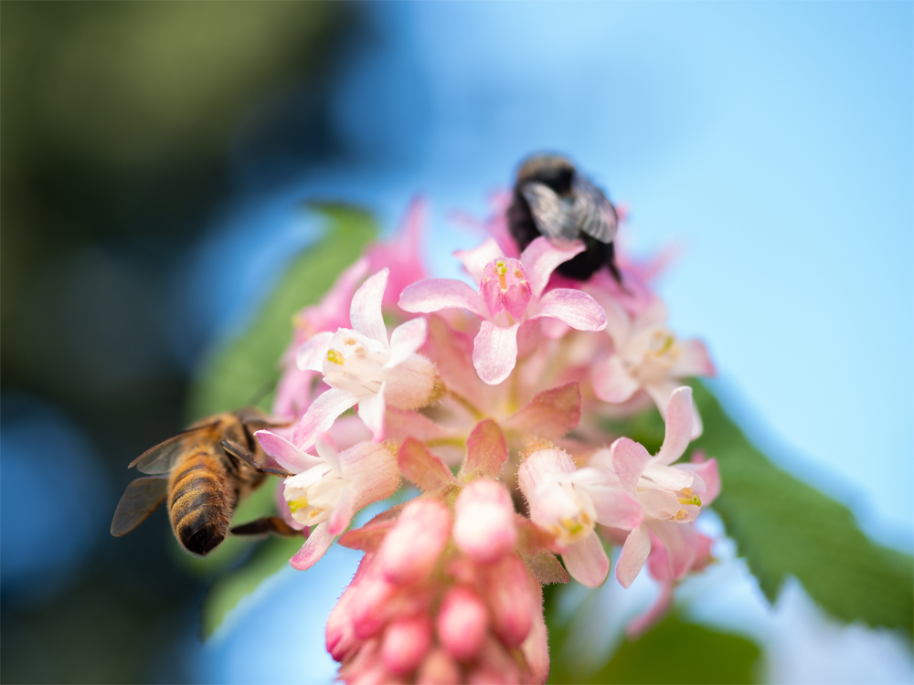 Bees on pink flowers