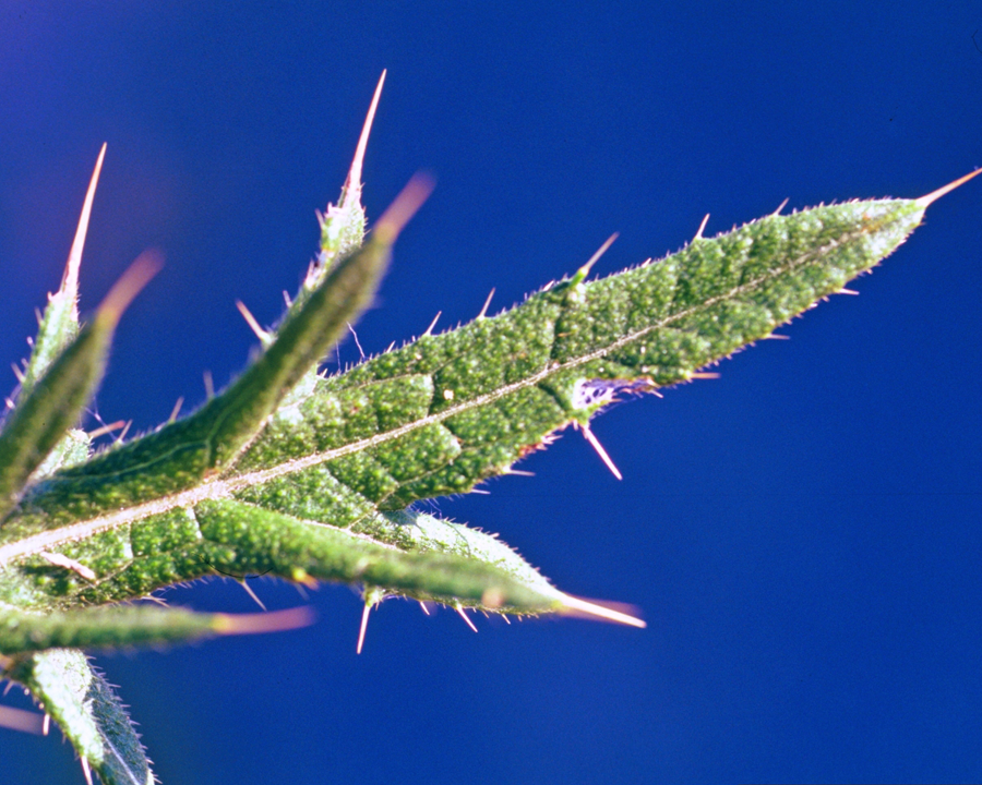 Close up of bull thistle leaf
