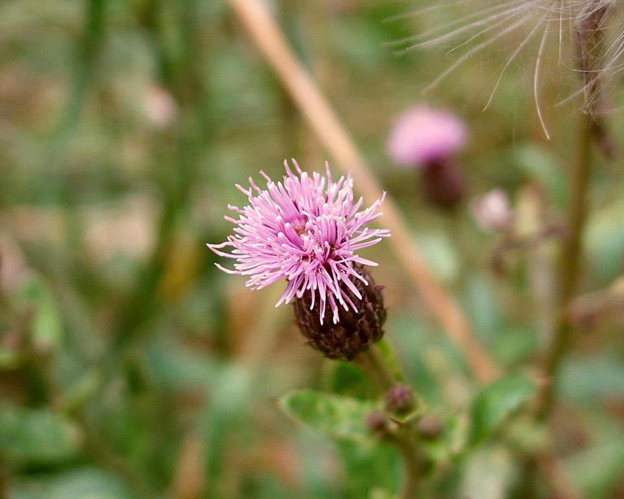 Canada thistle flower