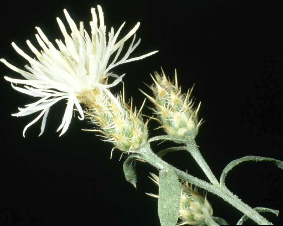 Diffuse knapweed flowers