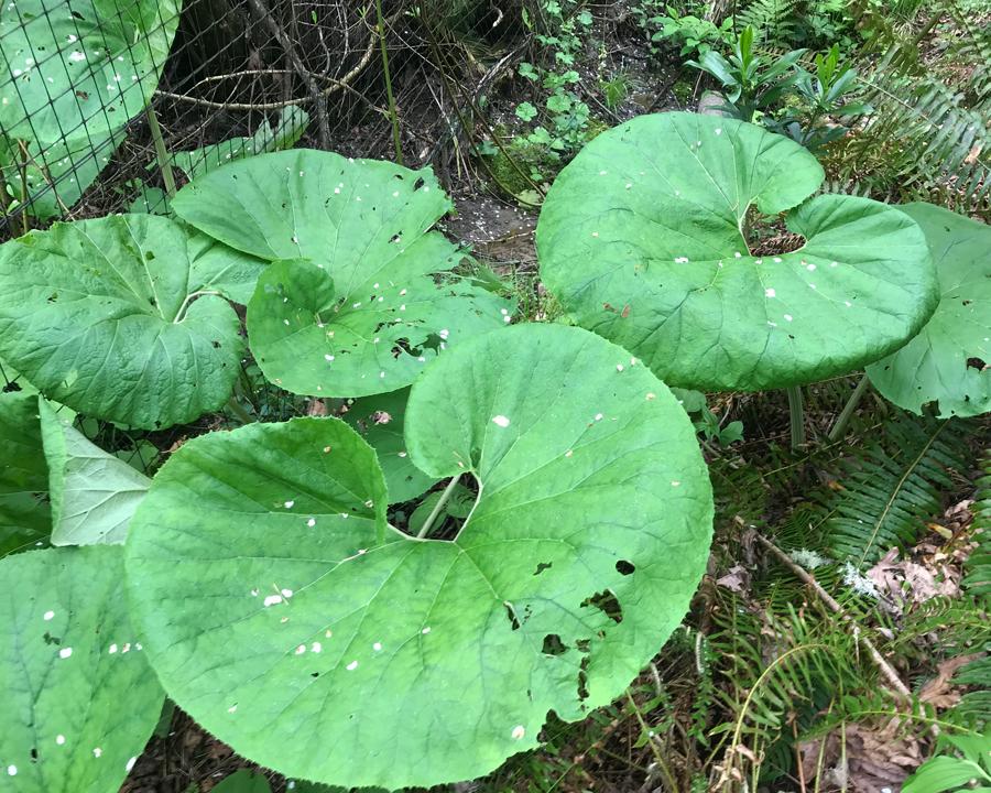 Japanese butterbur leaves